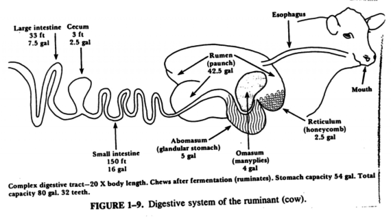 anatomy-of-digestive-system-of-cow-cattle-diagram-related-keywords-suggestions-cattle-diagram-570x320