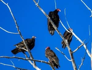 turkey-vulture-1777860_640